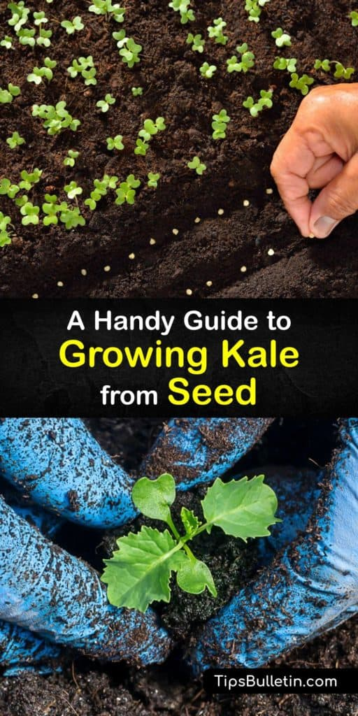 Learn how to plant kale seeds indoors and transplant them outside in the garden or container in full sun. Kale plants are a part of the cabbage family and very easy to grow, and these fast growers reward you with healthy greens at the end of the growing season. #howto #growing #kale #seeds