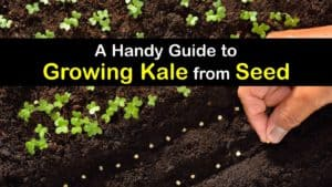 How to Grow Kale from Seed titleimg1