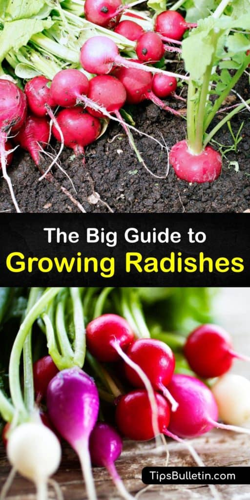 Follow these tips to plant radishes, or Raphanus sativus, in your garden with success during the early spring or late summer. This guide covers spacing, planting radish seeds, deterring flea beetles, and preventing pithy root vegetables all in one place. #howto #growing #radishes