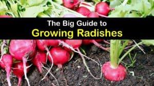 How to Grow Radishes titleimg1