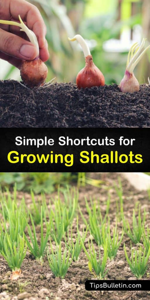 Throw out green onions and scallions and plant multiplier onions instead of individual bulbs. French shallot bulbs, or Allium cepa, have short root systems but are easy to grow with mulch, water, and attention. They give you unforgettable yet mild flavors that cooks love. #howto #growing #shallots
