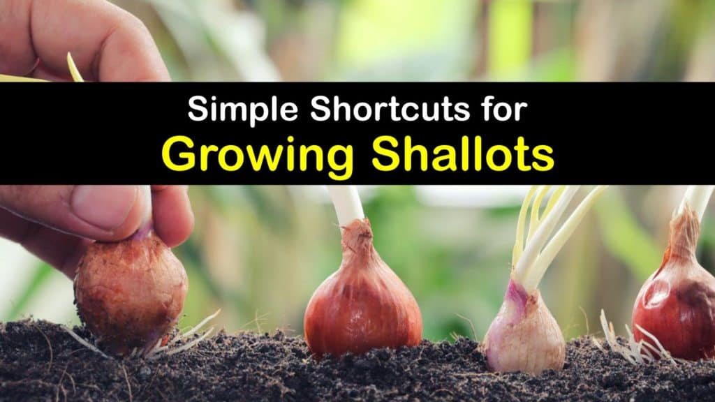 How to Grow Shallots titleimg1