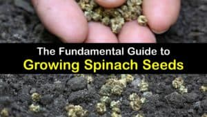 How to Grow Spinach from Seed titleimg1
