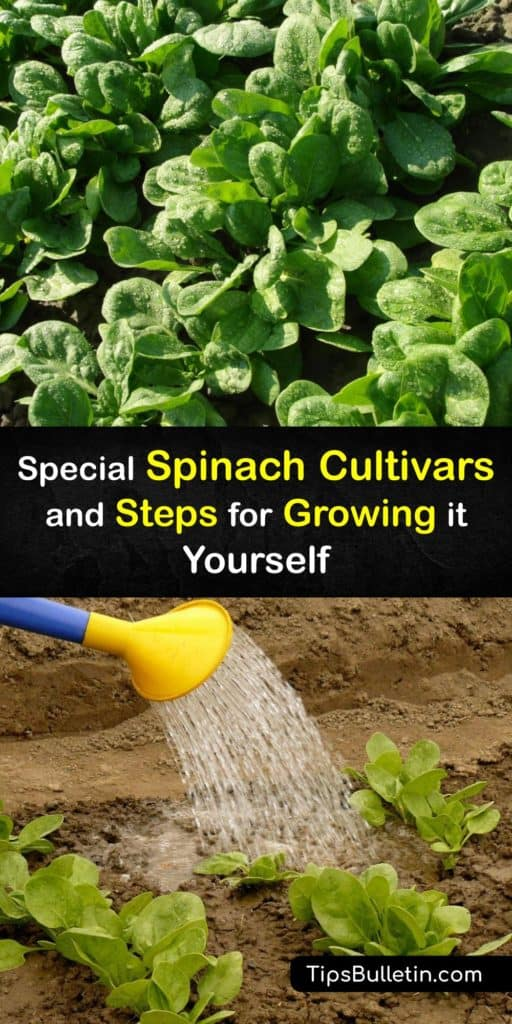 Discover the best cool weather plants and start spinach seeds before the last frost of spring to eat the outer leaves throughout the entire growing season. Utilize this guide with tips on avoiding hot weather, bolting, aphids, and downy mildew for a rewarding harvest. #howto #growing #spinach