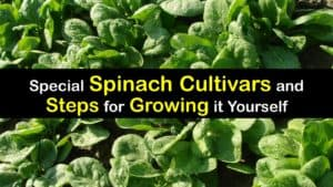 How to Grow Spinach titleimg1