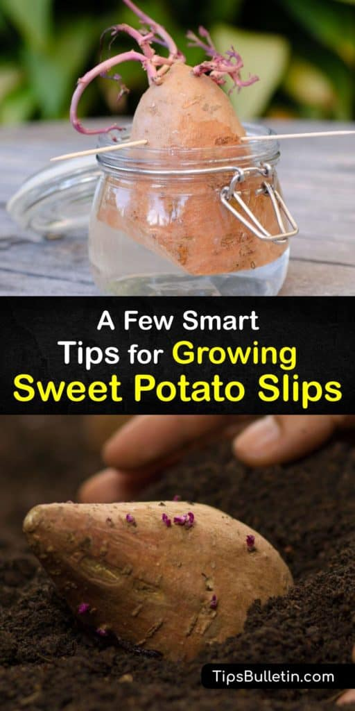 Bring home a sweet potato plant from the grocery store and learn how to start sprouting sweet potato vines into slips with toothpicks and a glass of water. Growers have used a jar of water to start their potatoes for years, and this guide is your key to success. #growing #sweet #potato #slips