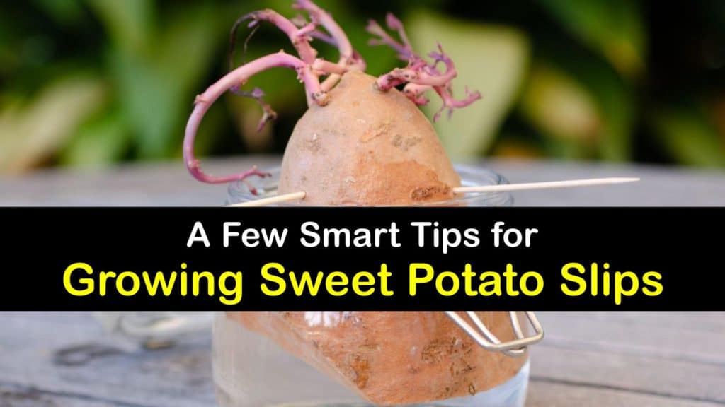 How to Grow Sweet Potato Slips titleimg1