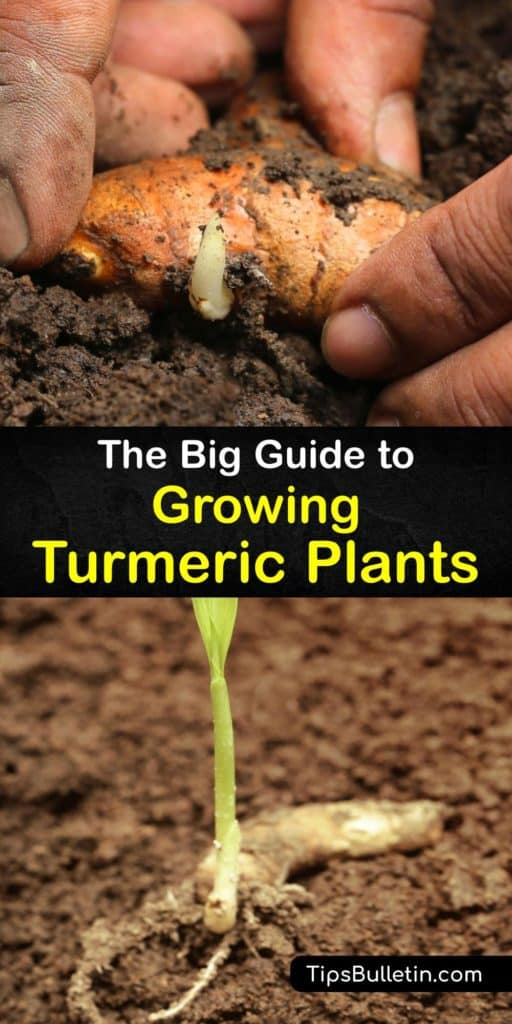 Discover how to grow turmeric, from sourcing fresh turmeric rhizomes at a grocery store or Asian grocer to caring for your turmeric plant. Fertilize regularly during turmeric's long growing season. This superfood has antioxidant and anti-inflammatory properties. #turmeric #growing #root