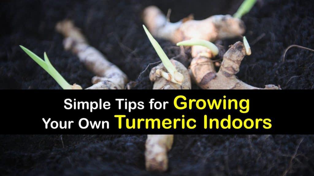 How to Grow Turmeric Root Indoors titleimg1