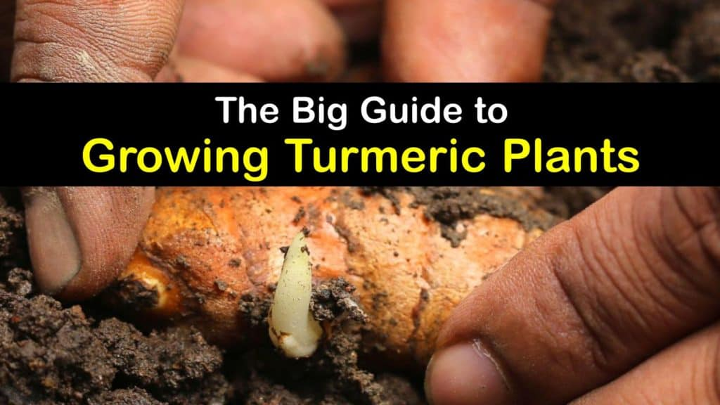 How to Grow Turmeric titleimg1