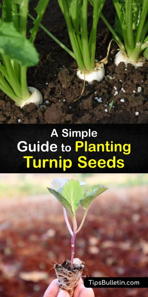 Find out everything about growing turnips, or Brassica rapa, for a spring and fall crop. This cool weather crop needs partial shade to full sun, ample water, and protection from pests like aphids and flea beetles. Harvest turnip greens in as little as 30 days. #grow #turnip #seeds