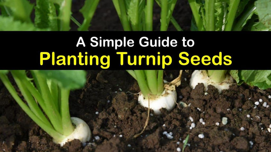 How to Grow Turnips from Seed titleimg1