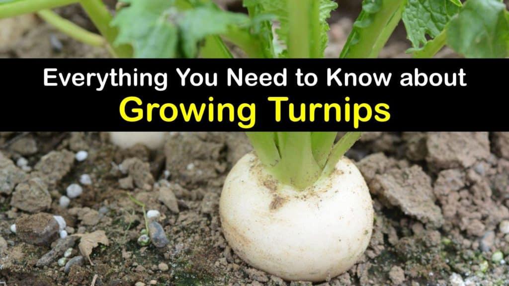 How to Grow Turnips titleimg1