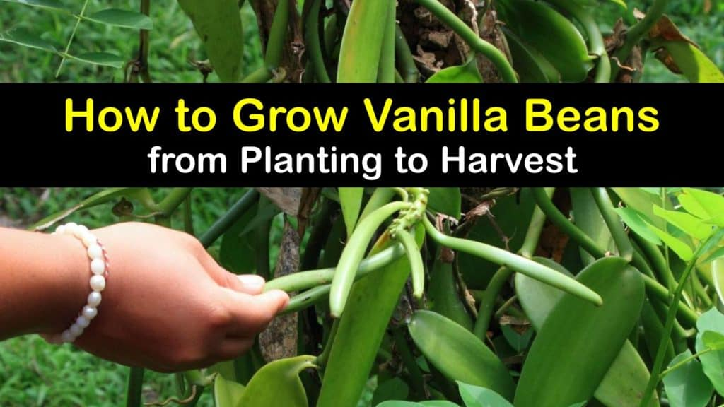 How to Grow Vanilla Beans titleimg1