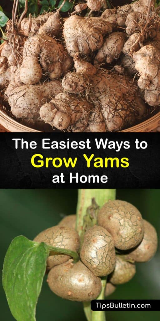 Learn how to grow yams from yams by sprouting them to create slips to plant in the garden. These fast growers are just as easy as growing sweet potatoes if you plant them in full sun after the last frost and protect them with black plastic mulch. #howto #growing #yams