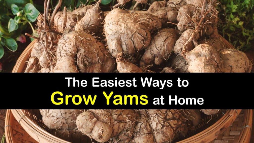 How to Grow Yams titleimg1