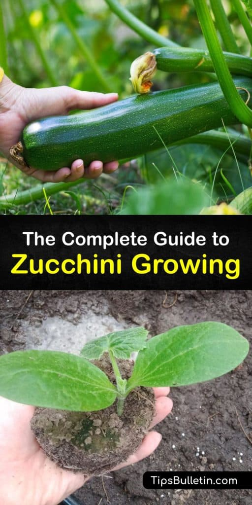 Fill your garden with summer squash and use the female flowers to attract essential pollinators and boost pollination without attracting squash bugs, powdery mildew, and blossom end rot. These bush and vining zucchinis need water, mulch, and sun to produce high yields. #howto #growing #zucchini