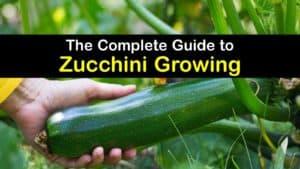 How to Grow Zucchini titleimg1