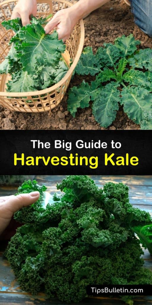 Discover how to grow kale plants and harvest kale throughout the growing season to encourage new leaves. Sow kale seeds in the early spring, use floating row covers to protect them from aphids and other pests, and enjoy baby kale leaves as needed. #howto #harvest #kale