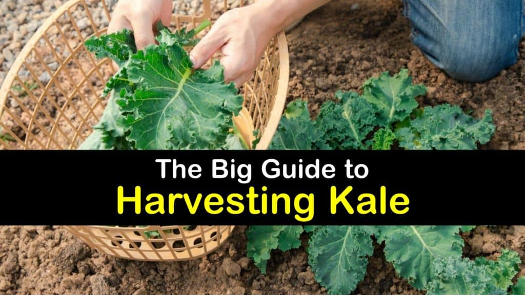 How to Harvest Kale titleimg1