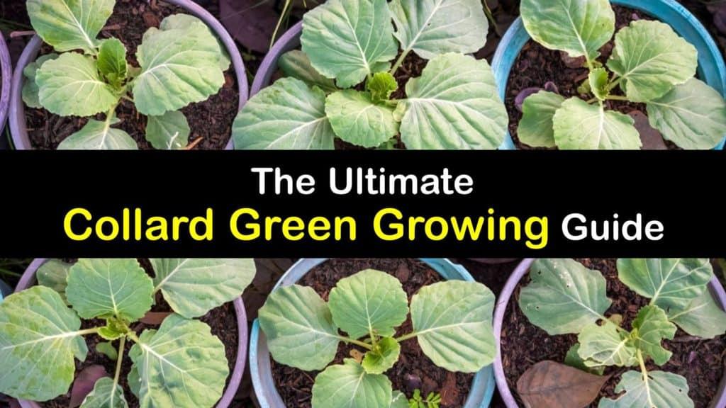 How to Plant Collard Greens titleimg1