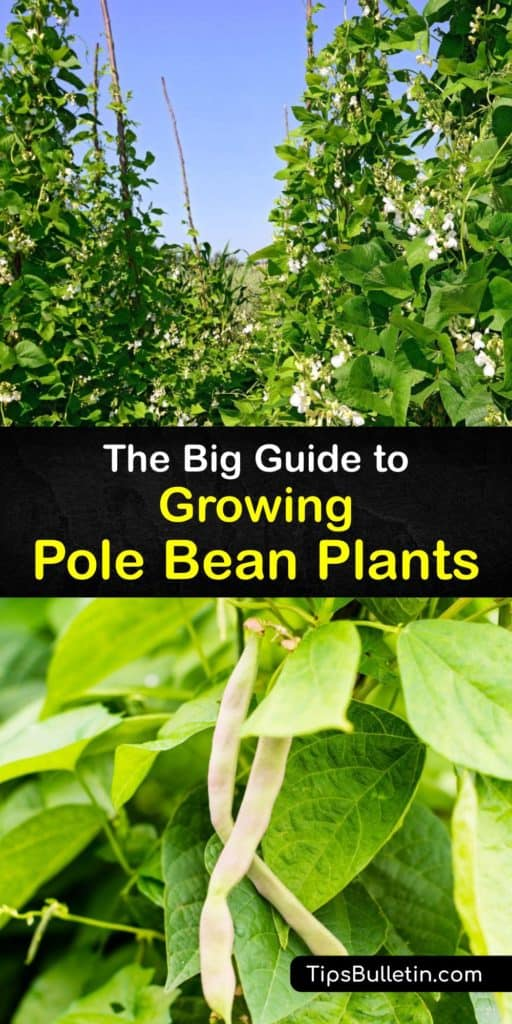 Learn how to plant pole bean seeds in your veggie garden for an abundant harvest throughout the growing season. Grow bean varieties, such as Kentucky Wonder, Blue Lake, and green beans, in full sun with a teepee trellis for your favorite recipes and canning. #howto #planting #polebeans