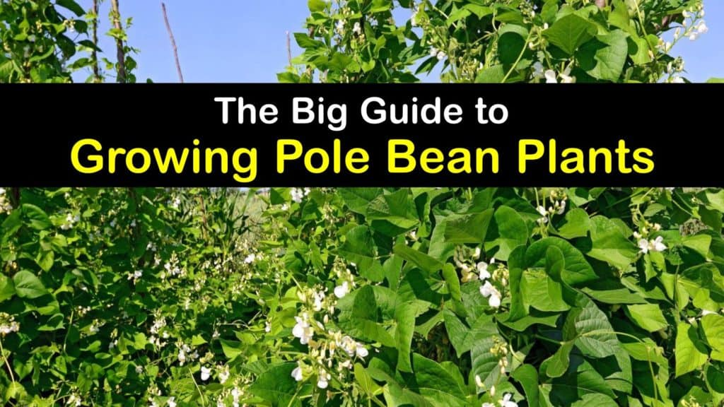How to Plant Pole Beans titleimg1
