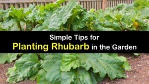 How to Plant Rhubarb titleimg1