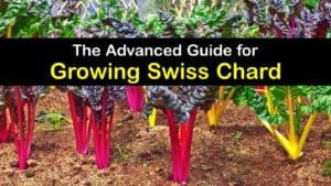 How to Plant Swiss Chard titleimg1