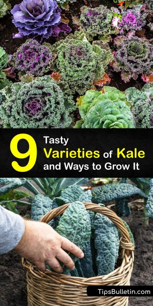 Take a break from your normal grocery store and stop by a farmers market to experience types of kale like Lacinato kale, Dinosaur kale, and Red Russian kale. This article discusses kale varieties with rich, green leaves and tells you how to use olive oil to make kale chips. #types #kale #varieties