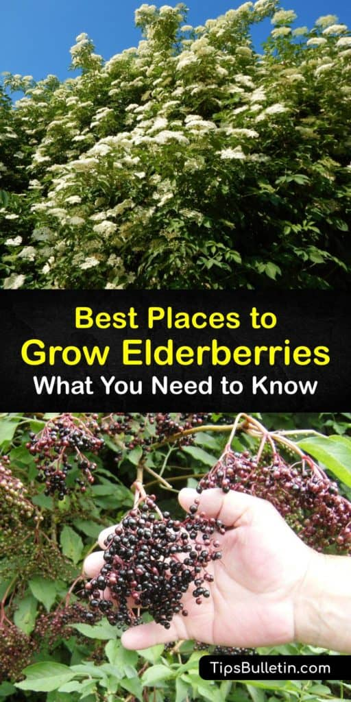 Learn how to grow elderberries and enjoy fruits rich in antioxidants in the first year. Many elderberry cultivars, including the European (Sambucus nigra) and American elderberry (Sambucus canadensis), are all easy to grow in your own backyard. #planting #elderberries #where