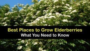 Where to Plant Elderberries titleimg1
