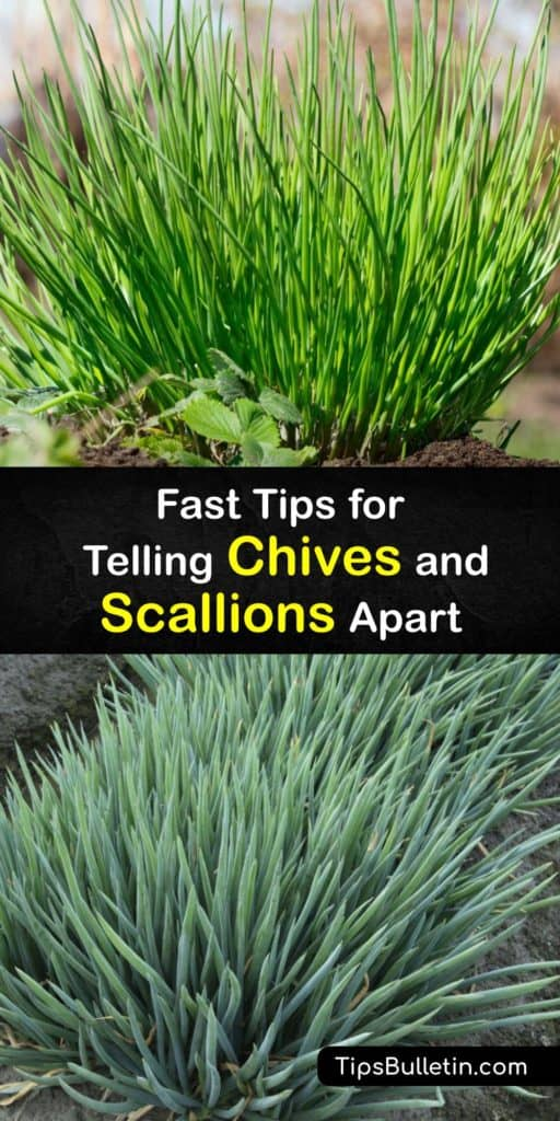 Learn the difference between chives and scallions, also called spring onions. They're different species in the Allium or onion family with garlic and leeks. Often used as a garnish on mashed or baked potatoes or in Asian stir fry, they're eaten raw or cooked. #chives #scallions