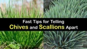 Chives vs Scallions titleimg1