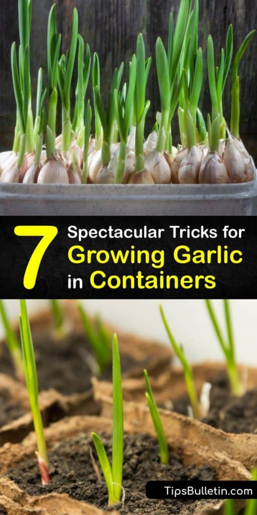 Find out how to grow garlic in a container, from finding garlic bulbs to planting them in potting soil. Start by deciding between hardneck and softneck garlic, depending on your climate. Avoid grocery store garlic since it's often treated to prevent sprouting. #garlic #growing #container