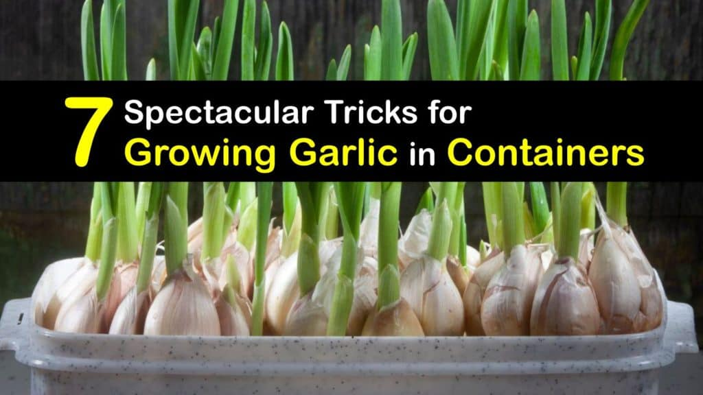 Growing Garlic in Containers titleimg1