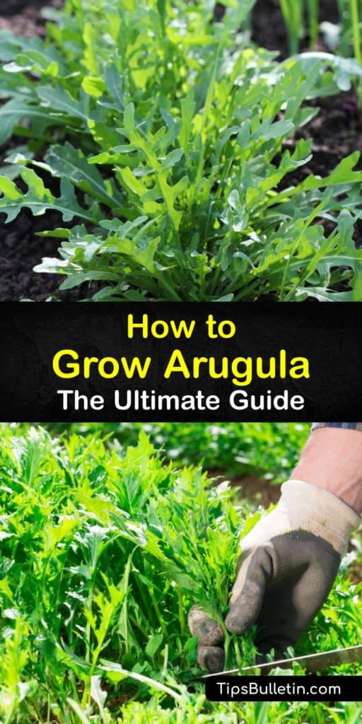Find out all you need to know for growing arugula plants. Plant this cool-season crop in early spring or late summer to keep it from bolting in hot weather. Grow peppery arugula leaves in full sun and protect young seedlings from flea beetles with row covers. #growing #arugula #lettuce