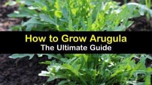 How to Grow Arugula titleimg1