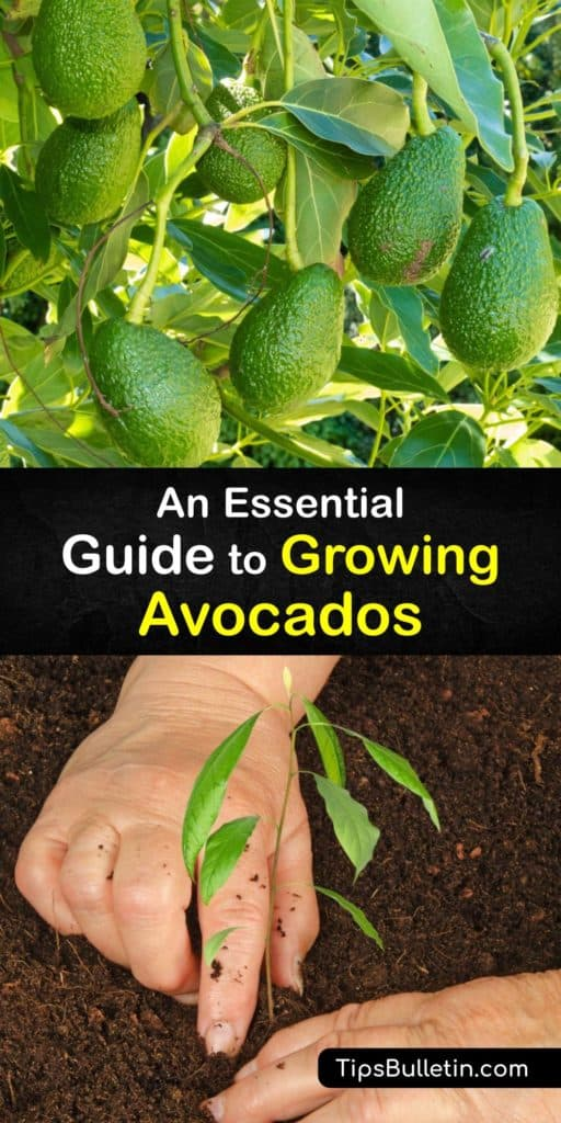 Turn a small California avocado seed into a tree to bear fruit that makes delicious guacamole. Potting an avocado pit or planting a grafted sapling helps gardeners in warm zones grow their own avocados and savor the avocado fruit that it produces. #howto #growing #avocados