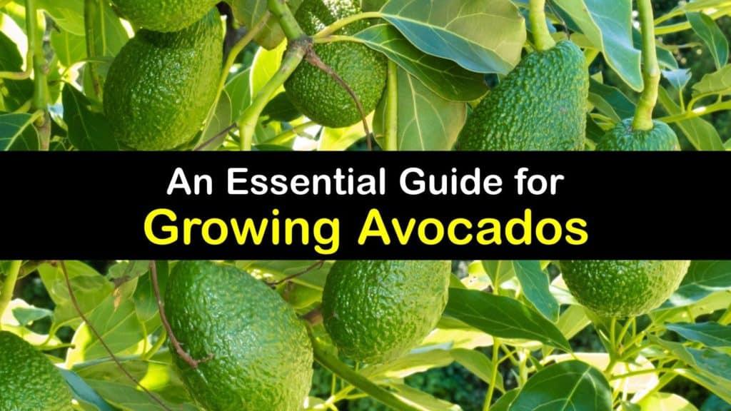 How to Grow Avocados titleimg1