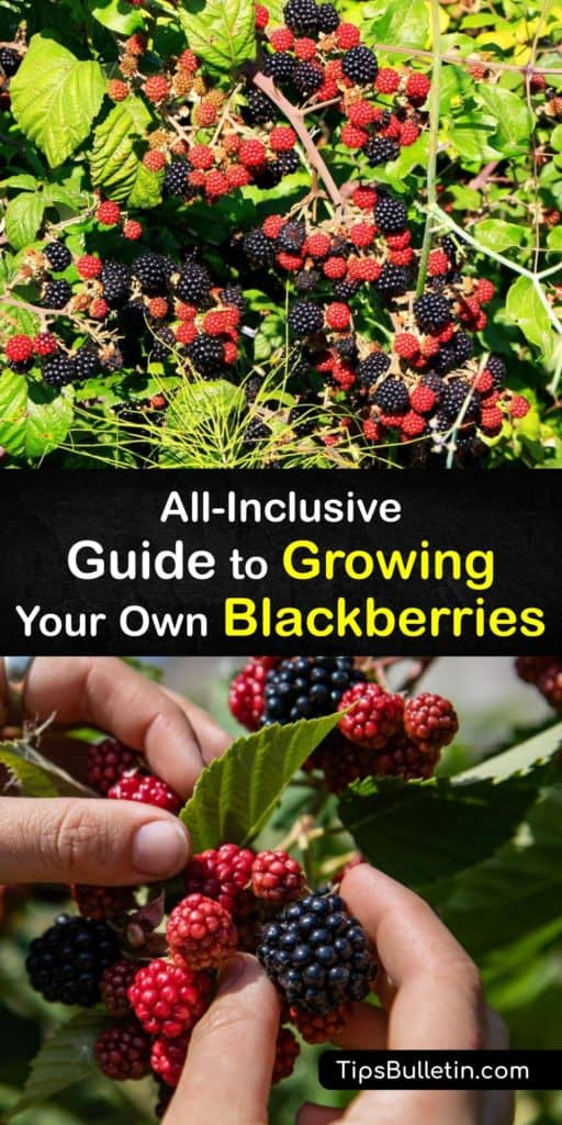 Learn how to grow semi-erect, erect, and trailing blackberry plants in the early spring and care for them through the growing season. Plant them in full sun and slightly acidic to neutral soil, and prune the primocanes for second year fruit production. #howto #blackberries #growing