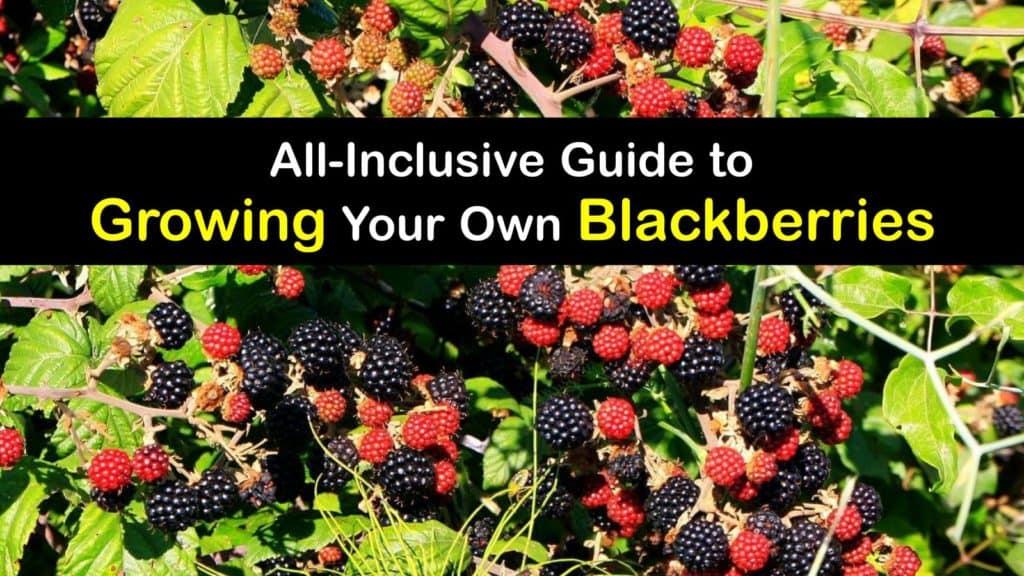 How to Grow Blackberries titleimg1