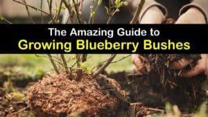 How to Grow Blueberry Bushes titleimg1
