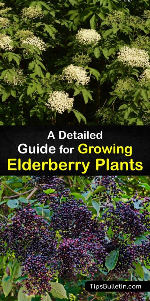 Read about Sambucus canadensis, the American elderberry, and cultivars like the Nova. This guide walks you through information about elderberries antioxidant properties and how to use their shallow roots, mulch, and partial shade for success during their first year. #howto #growing #elderberries