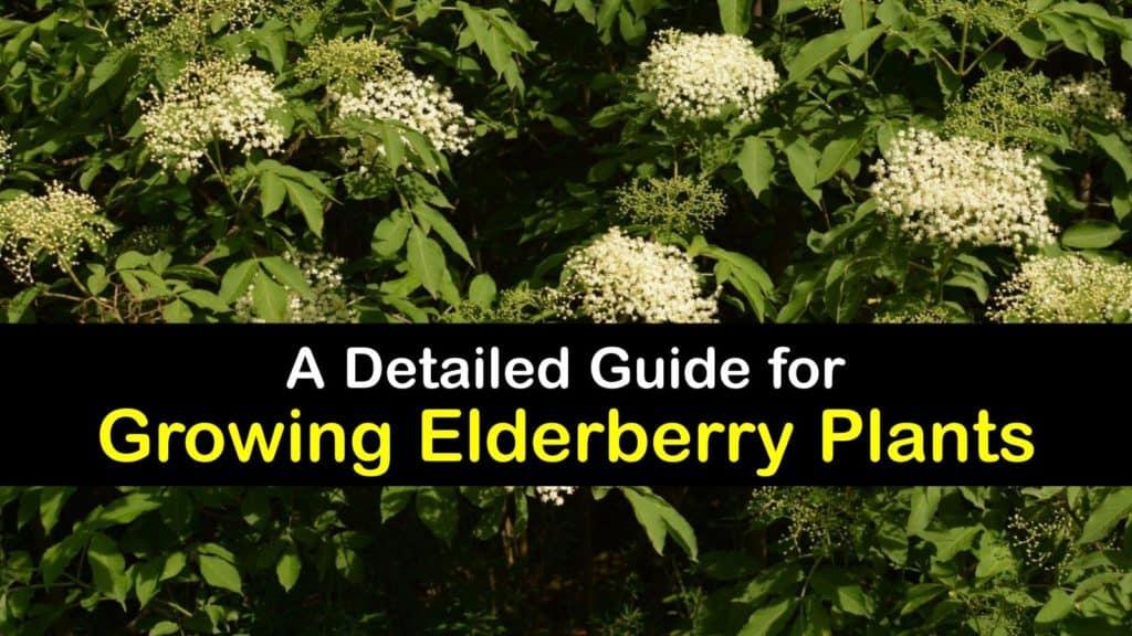 How to Grow Elderberries titleimg1