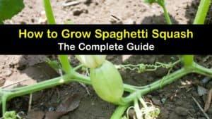 How to Grow Spaghetti Squash titleimg1