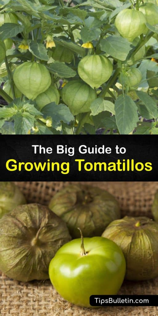 Peel the papery husk of these green fruits and use these tips to grow Mexican tomatillos at home. The husk tomato looks similar to green tomatoes but with a tangier bite. They taste even better when you give them full sun and learn how to mulch and water them properly. #howto #growing #tomatillos