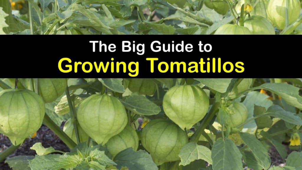 How to Grow Tomatillos titleimg1