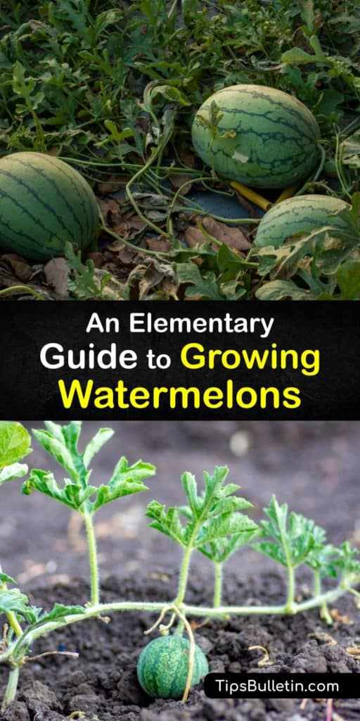 Growing watermelons isn't too difficult. Use helpful tricks like warming the soil with mulch or black plastic and protecting young watermelon plants from cucumber beetles with row covers. Companion planting promotes pollination and pest control. #grow #watermelon #planting