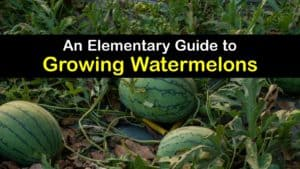 How to Grow Watermelons titleimg1